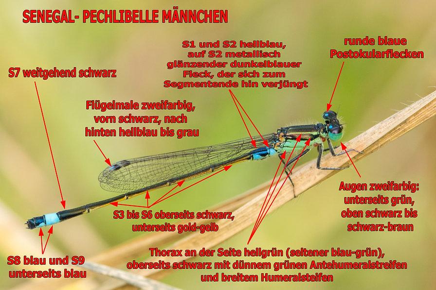 M100B - Tropical Bluetail - Wilderness -