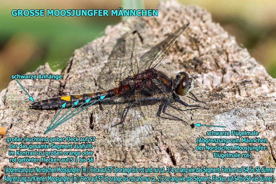 M100Bwix - Große Moosjungfer - 13.05.201