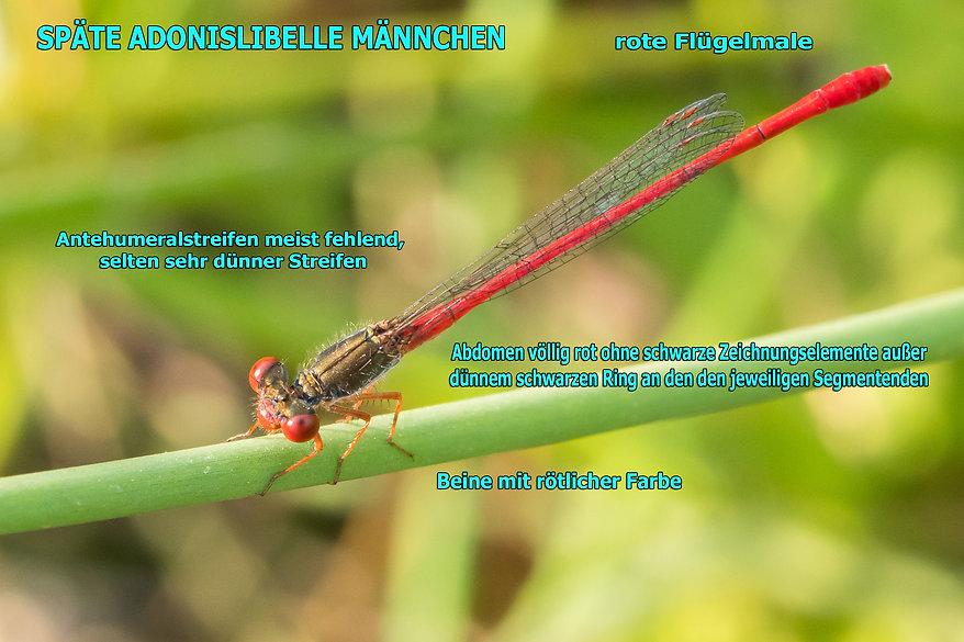 141 - Scharlachlibelle - 22.06.2017 - Hu