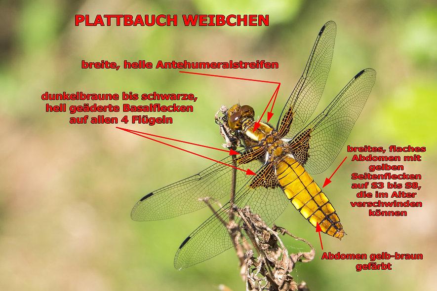 W100B - Plattbauch - Jauernick - 28.04.2