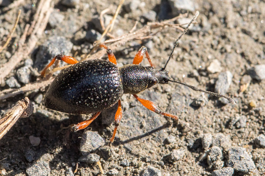 O - Schwarzer Rüsselkäfer - Otiorhynchus