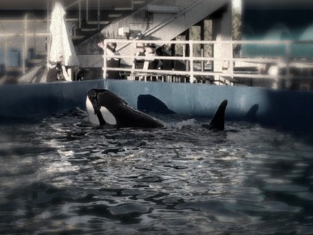 New Video: Lolita's Lonely Life - The Story of an Orca Held Captive for Fifty Years