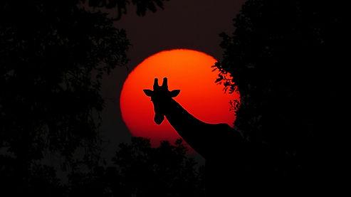 giraffe-2073609_1920.jpg