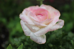 Rose with Rainfall