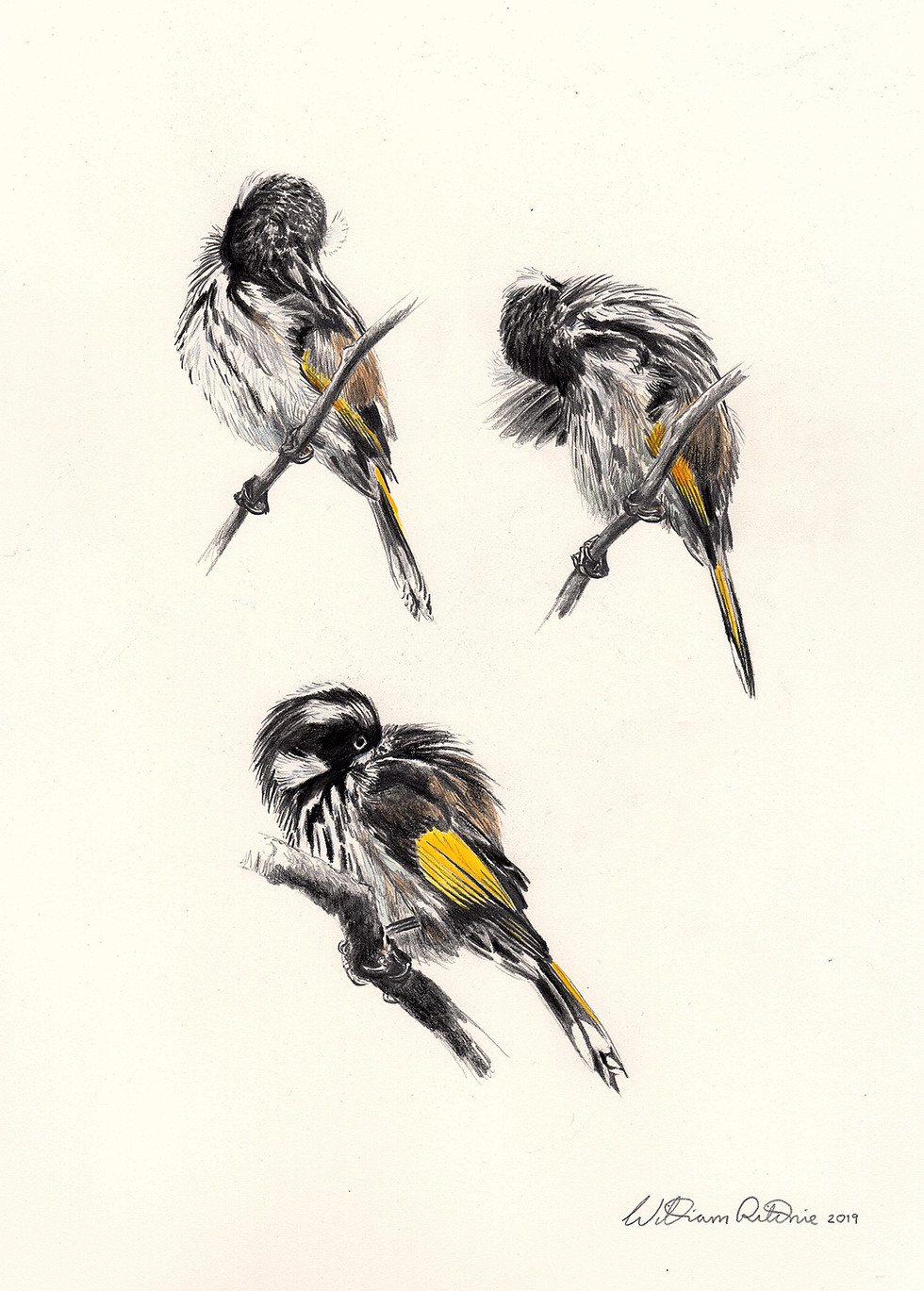 New Holland honeyeater preening