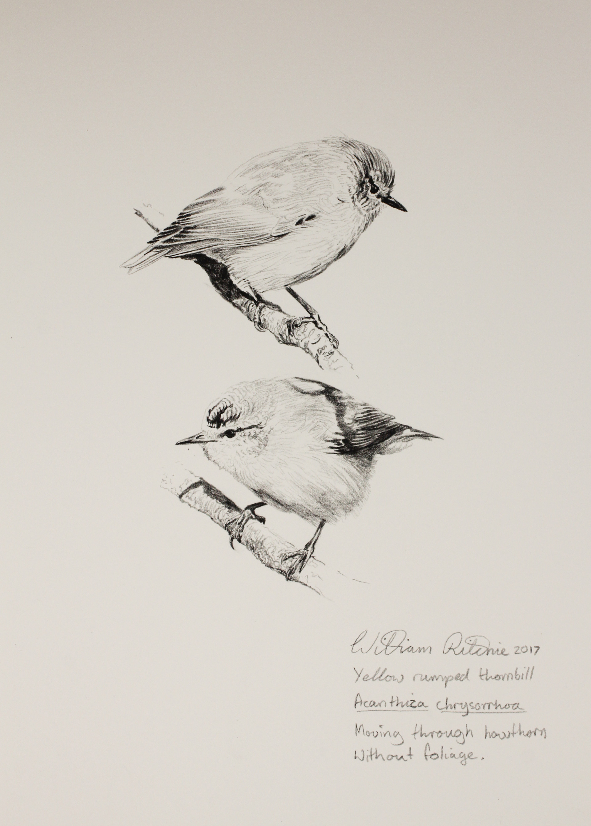 Yellow-rumped thornbill study