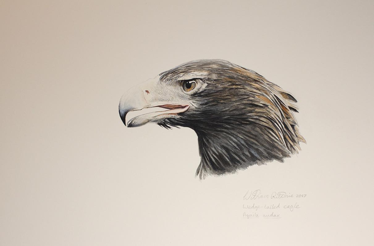Wedge-tailed Eagle Head Study