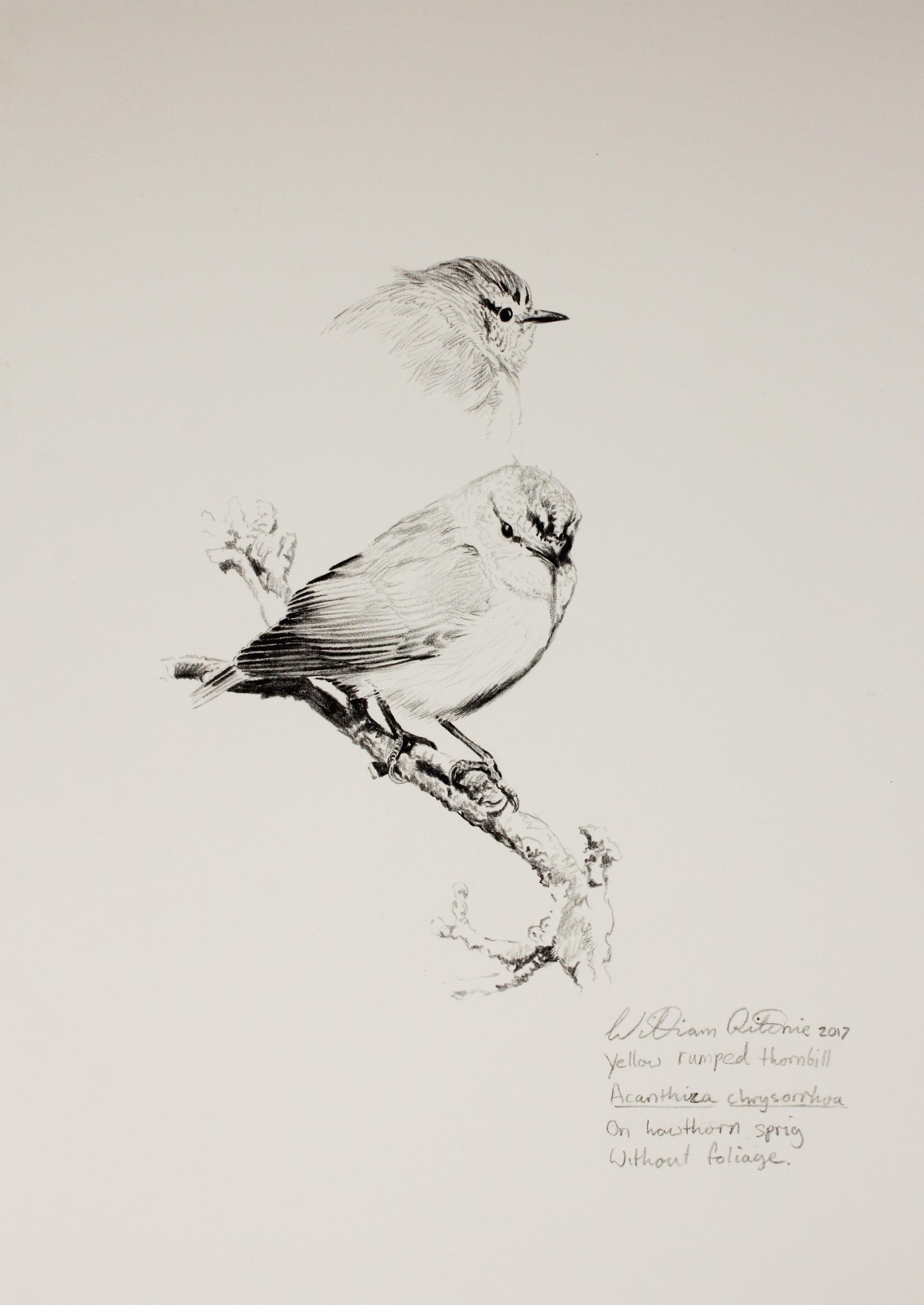 Yellow-rumped thornbill study