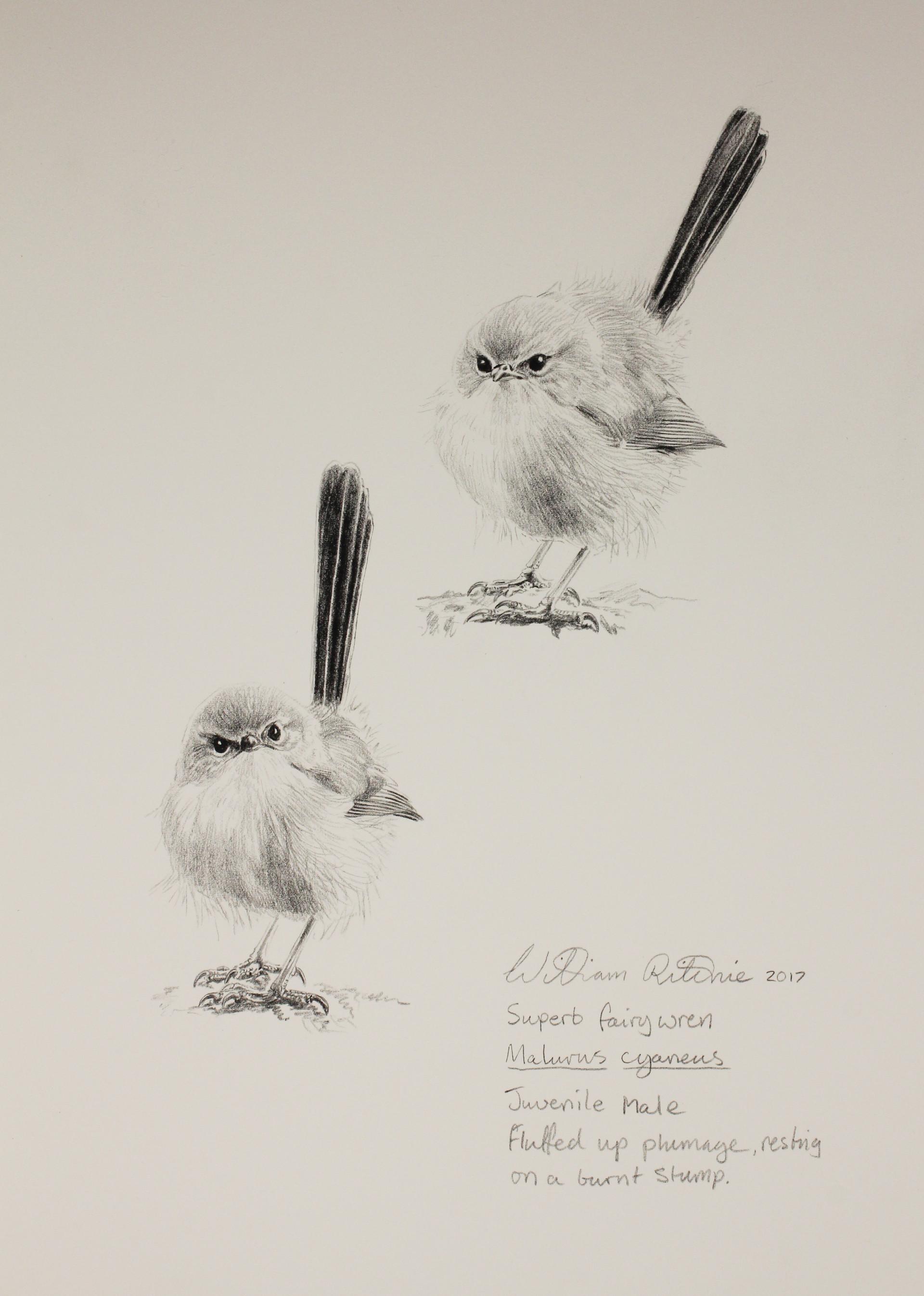 Juvenile male superb blue wren study