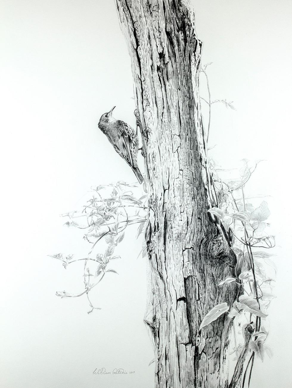 Treecreepers