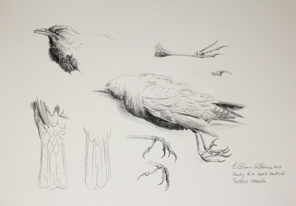 Dead blackbird study