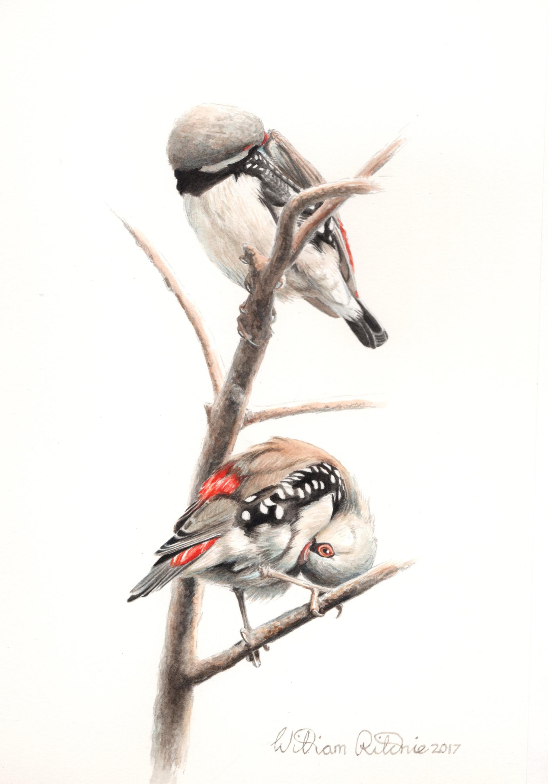 Diamond Finches Preening