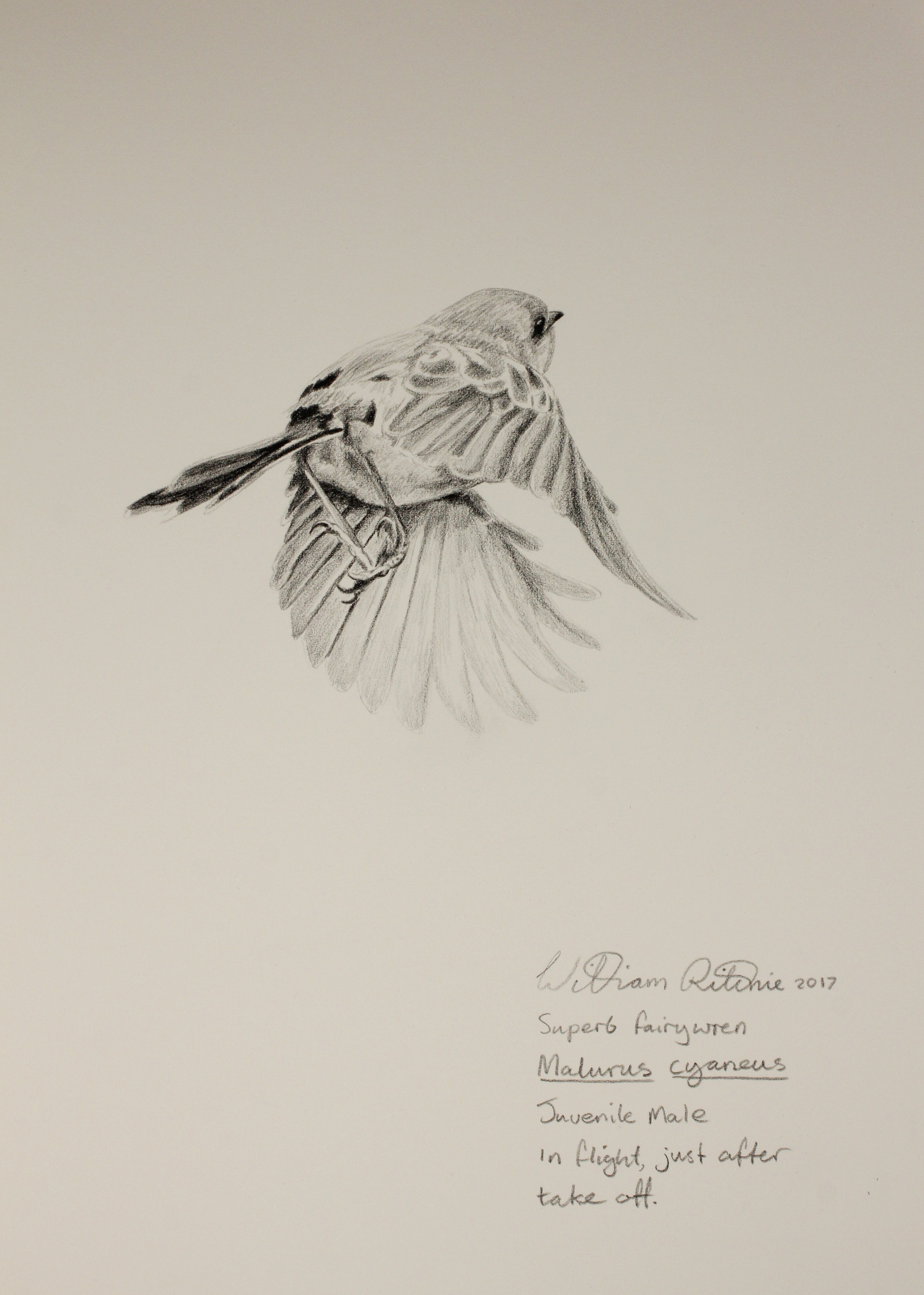 Juvenile male superb blue wren flight study
