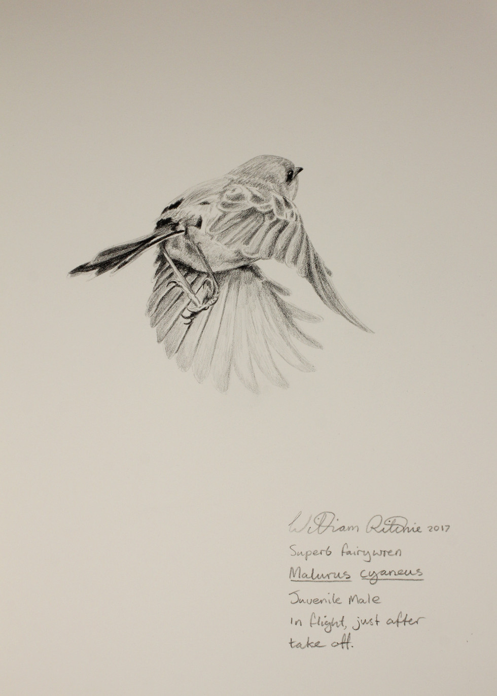 Juvenile male superb blue wren flight study