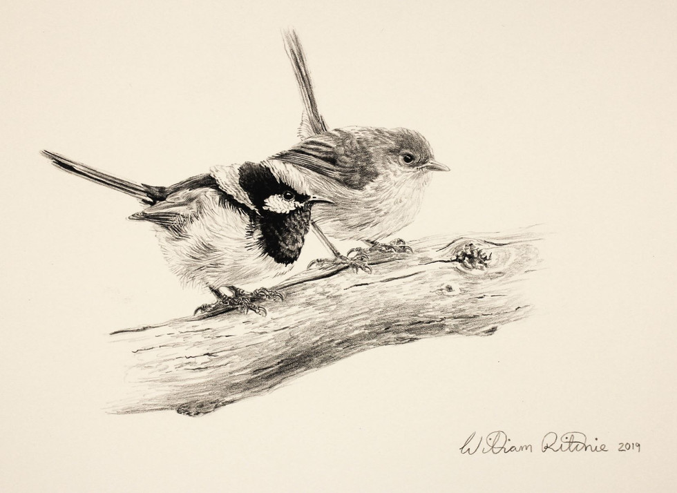 Superb Fairy-Wren Pair