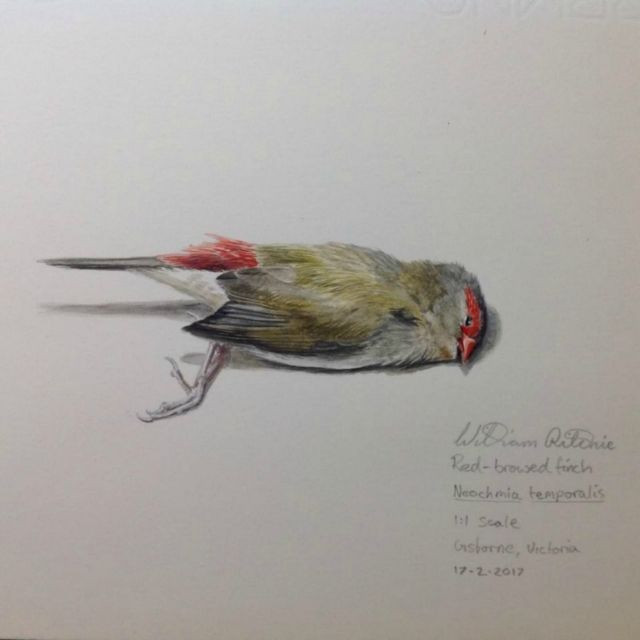Red-browed Finch Study