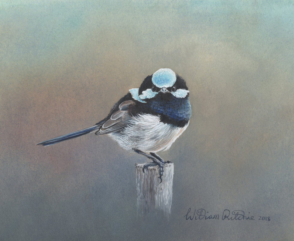 Study of a male superb blue wren