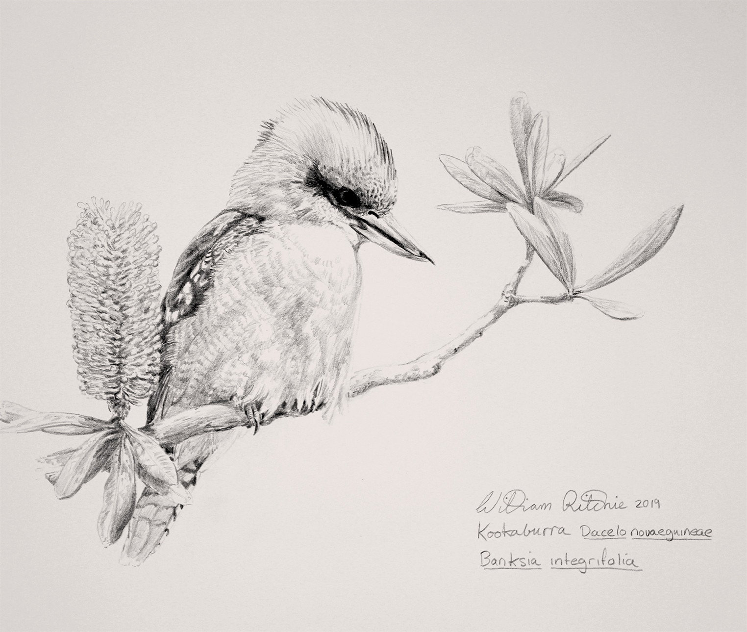 Kookaburra & Banksia