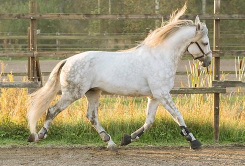 hevonen.png