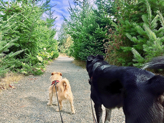 Pine tree lane at Discovery