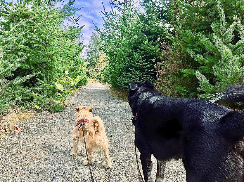 Two dogs walking down a pine tree trail