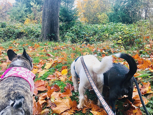 The fallen leaves always bring out terrific sniffs for the pups