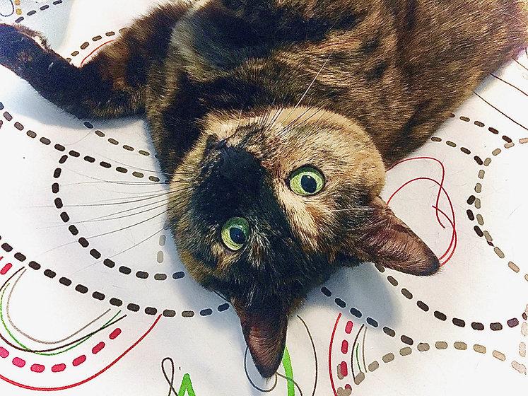 tortious shell cat joyfully rolling