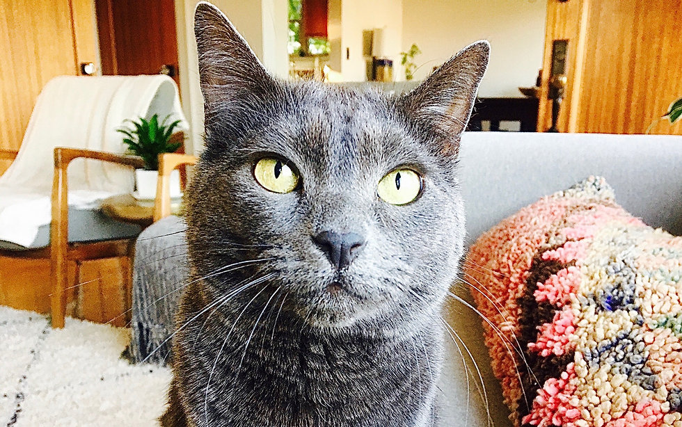perky eared, gray cat sitting on couch