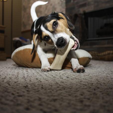 Ali lahko psi glodajo kosti?