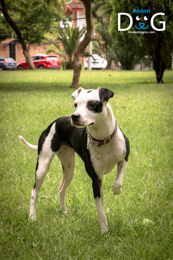 mascotas-gdl-modest-dog-guadalajara-jali