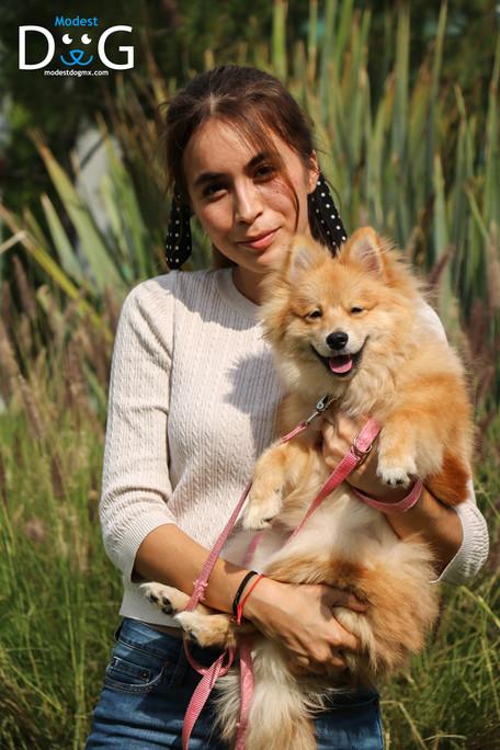 pomeranian-mascotas-perros-gdl-modest-do