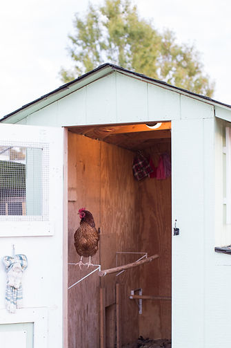 Red in the hen house.jpg