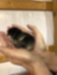 Black French Copper Maran
