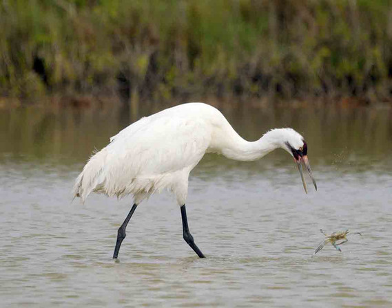 Hungry Whooping Crane