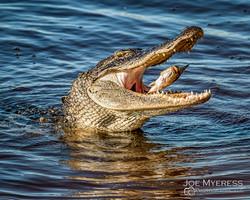 Gator having Lunch