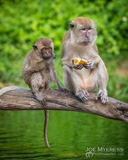 Monkeys having Lunch