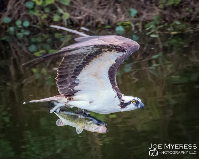 Ospreys with their fresh catch