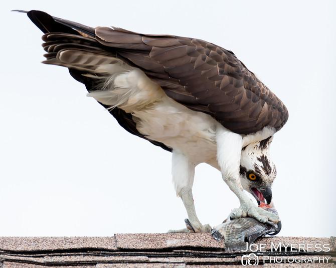 Osprey hawk bring breakfast...