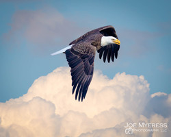 Bald Eagle above the clouds