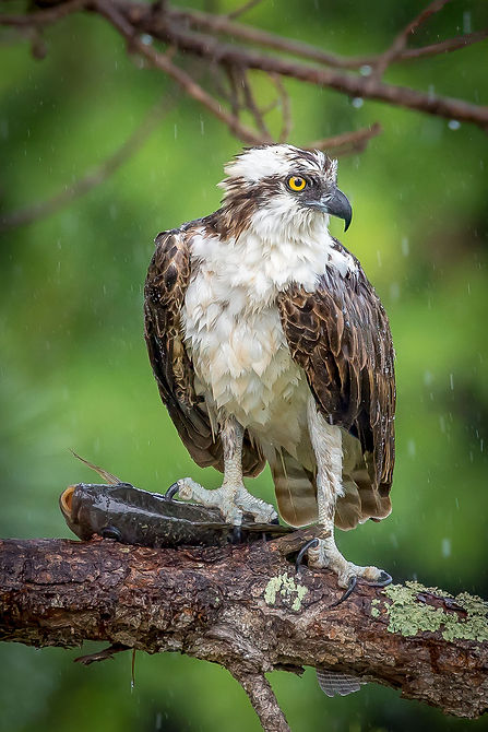 Osprey in the rain