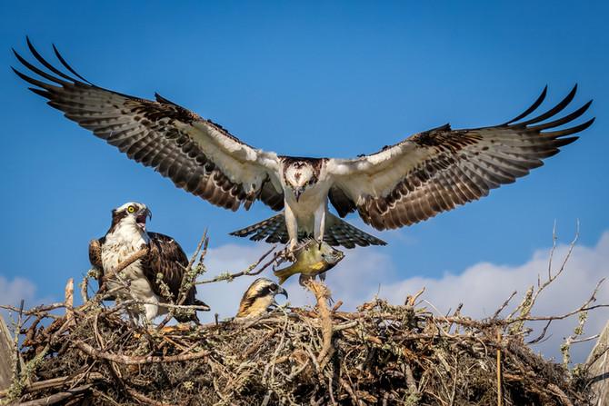 Osprey family at dinnertime