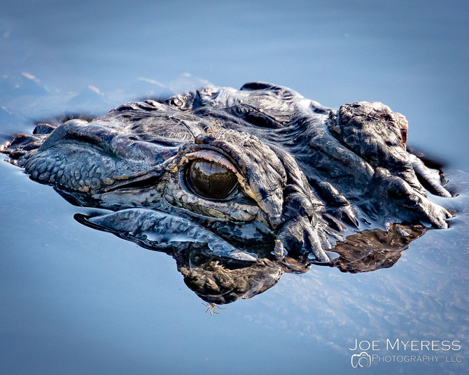 Eye on a Gator