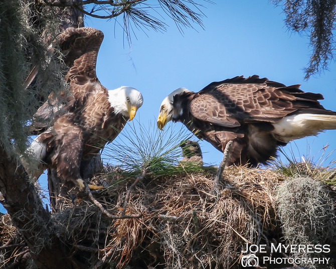 Watching a Bald Eagle family...