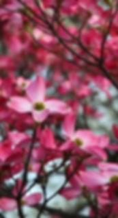 RJ Tree Service pink dogwood