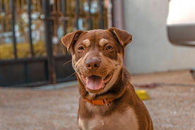 close-up-photo-of-brown-dog-1553235.jpg