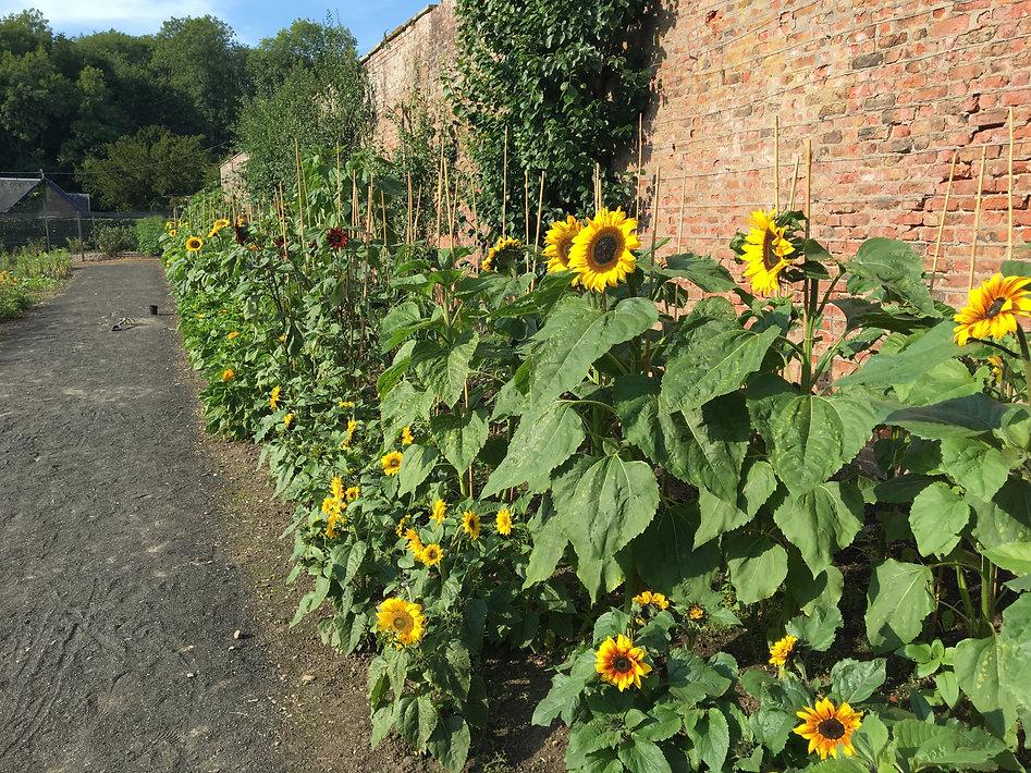Sunflowers at Scone.JPG