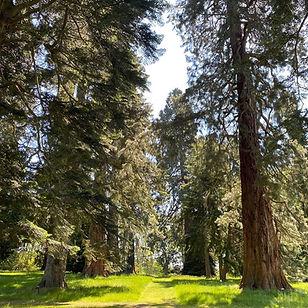 Fir Trees.jpg