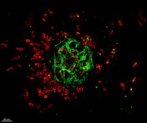 Circuit de vaisseaux et de macrophages de l'oeil