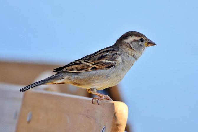 雀の知恵 The Smart Sparrow