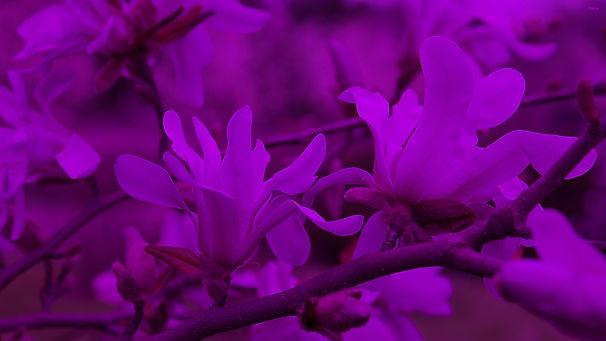 210-2105694_pink-magnolias-wallpaper.jpg